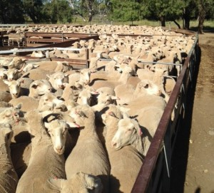 482 Maiden ewes peened up for spanging in cropped