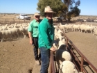 chris-carrigan-hogget-ewes-august-2014