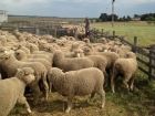 classed-young-ewes-at-chris-and-lochie-mclellans-cropped