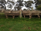 classing-rams-at-david-glenda-mitchells-macquaries-victorian-ram-depot