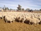 mark-evans-ewes