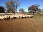 munargo-hogget-ewes