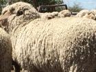 welbon-ewes