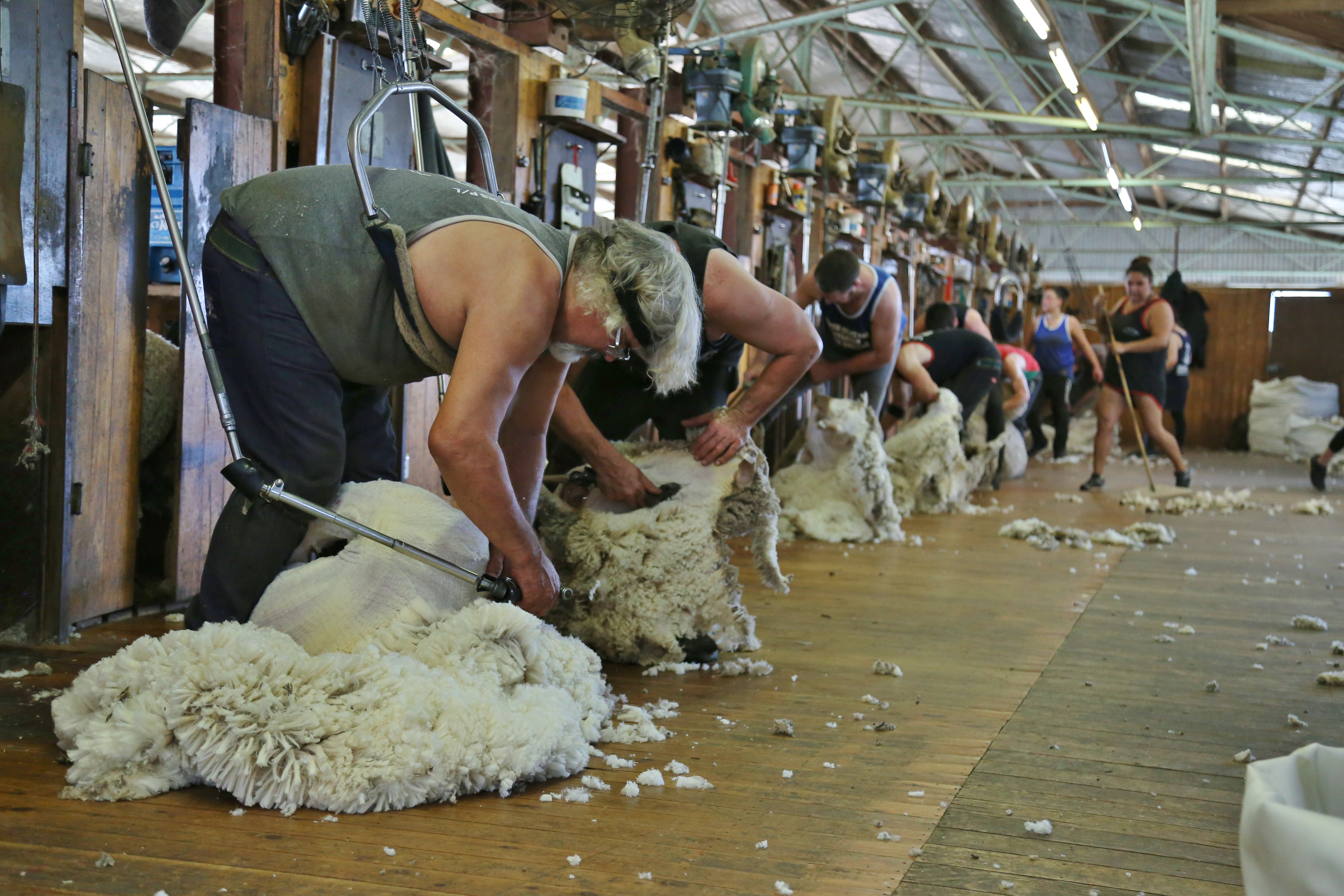Dohne Flock Leads The Way In Certification Macquaire Dohnes
